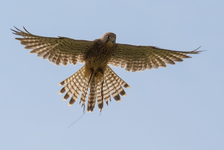 Hovering Kestrel at British Falconry Fair