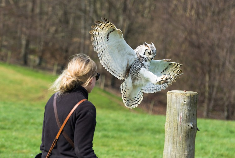 Io - Great Horned Owl at British Falconry Fair