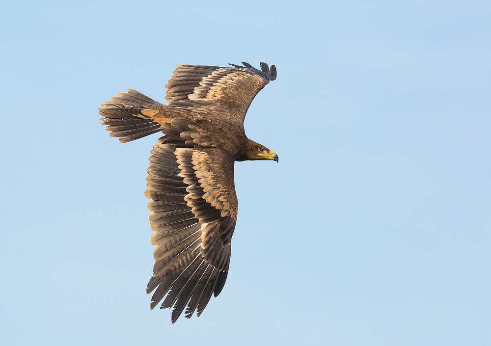 Golden Eagle Aquila Chrysaetos Male On White Mountain Hare Kill Scotland Uk Captive Bird